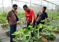 AHMAD Shahrin Ismail (tengah) menunjukkan pokok buah tin yang ditanamnya di Sungai Soi, Kuantan, Pahang.